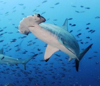Galapagos-Scuba-Diving-Tours-350x300